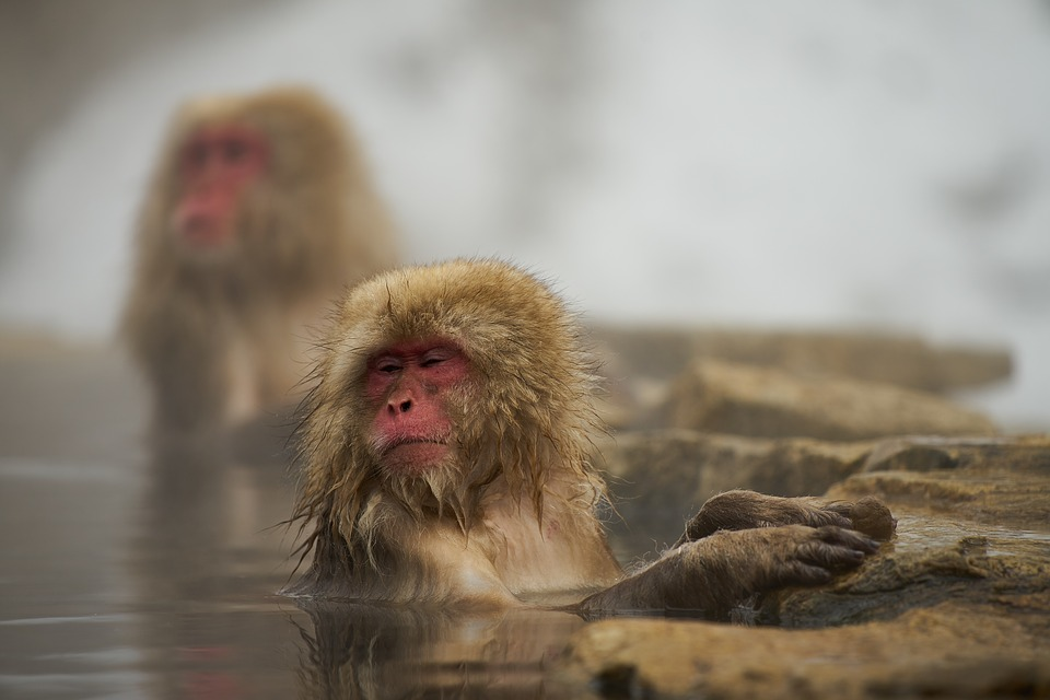 snow monkey-hakuba